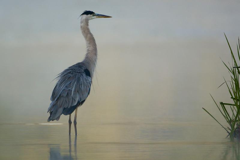 Misty Morning Great Blue Heron