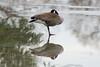 Goose - Lynde Shores Conservation Area - Whitby Ontario
