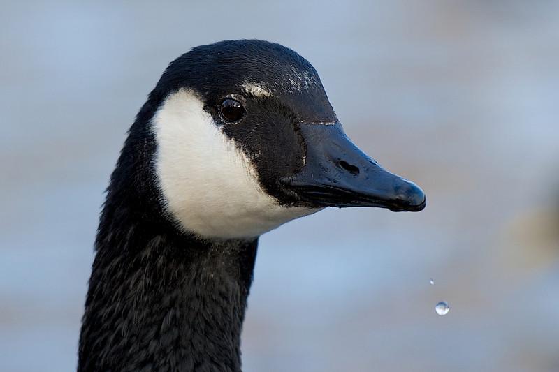 Bluffer's Park Goose