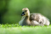 Gosling - Lynde Shores Conservation Area - Whitby, Ontario