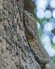 Monitor Lizard, Zambia Africa