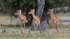 Impala, Zambia Africa