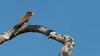 Cinnamon Roller, Zambia Africa