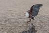 Fish Eagle, Zambia Africa