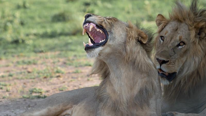 Lions, Zambia Africa