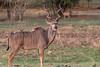 Greater Kudu, Zambia Africa