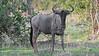 Cookson's Wildebeest, Zambia Africa