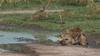 Spotted Hyena, Zambia Africa