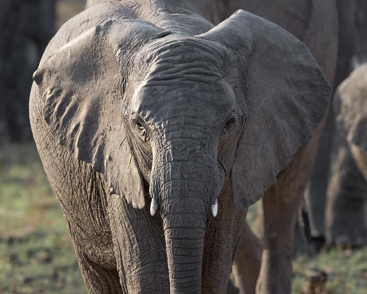 Elephant, Zambia Africa