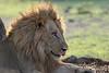 Lion, Zambia Africa