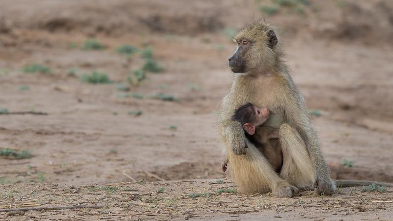 Yellow Baboon, Zambia Africa