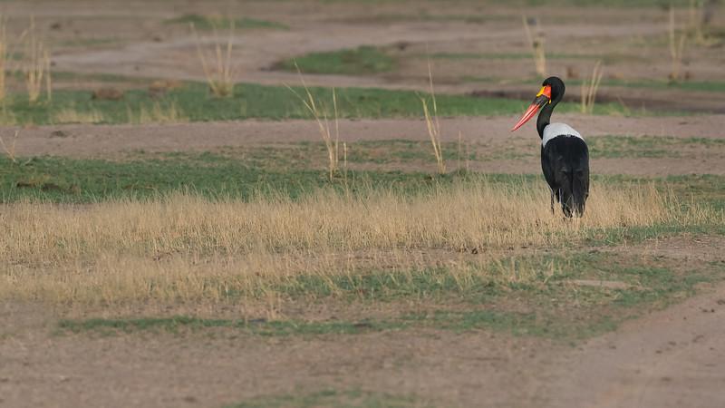 Saddle-billed Stork, Zambia Africa