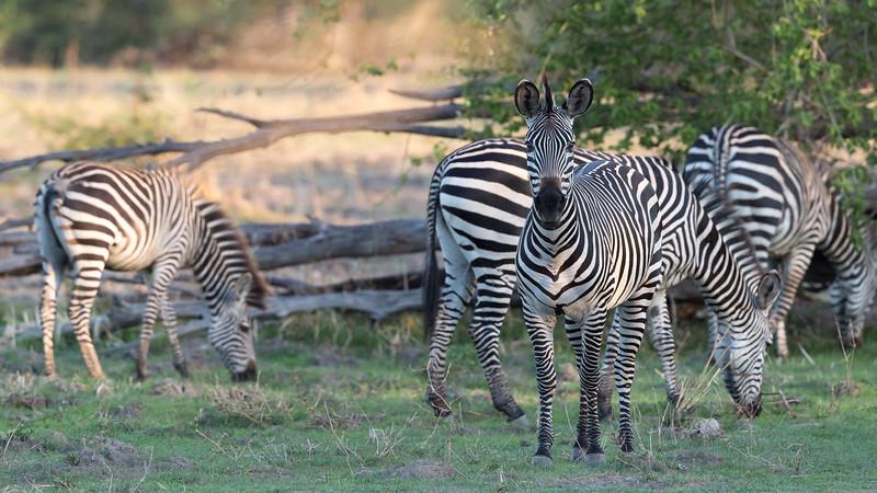Crawshay's Zebra, Zambia Africa