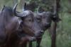 Cape Buffalo, Zambia Africa