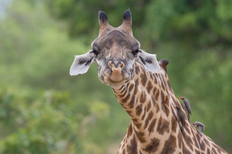 Thornicroft Giraffe, Zambia Africa