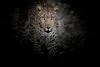 Leopard, Zambia Africa