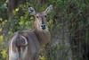 Waterbuck, Zambia Africa