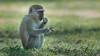 Green Vervet Monkey, Zambia Africa