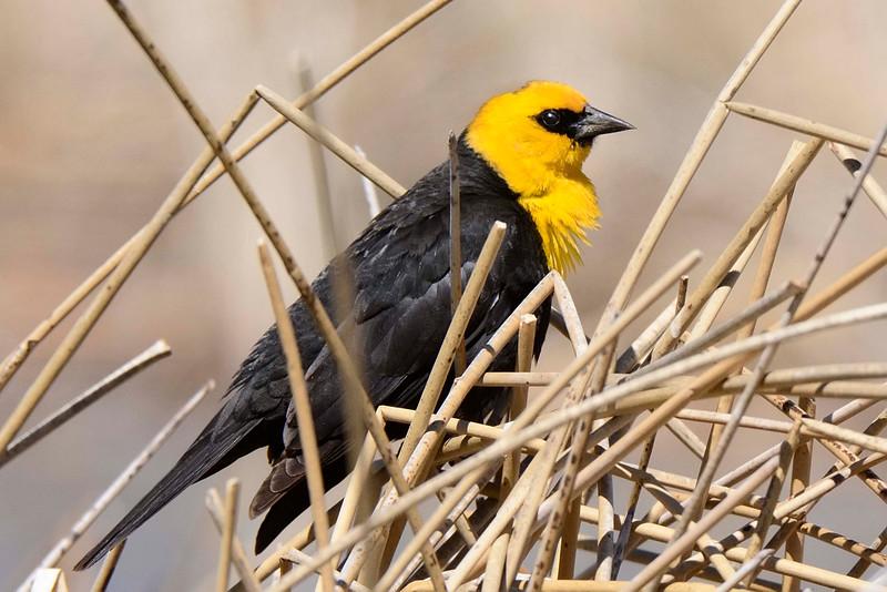 YellowHeadedBlackbird-CO-2015-002