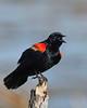 RedWingedBlackbird-LAWD-6-14-20-SJS-05