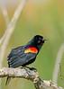 RedWingBlackbird-LAWD-Fl-3-17-17-SJS-003