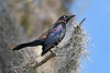 BoattailedGrackle-EmeraldaMarsh-4-8-20-SJS-002