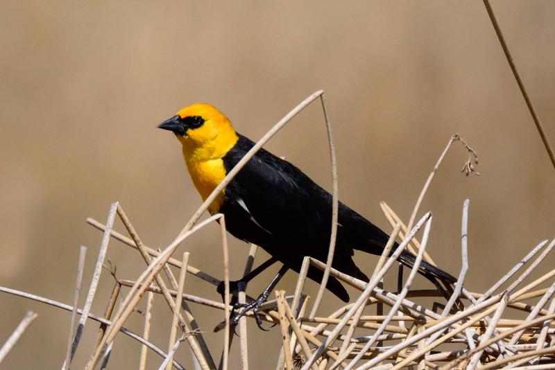 YellowHeadedBlackbird-CO-2015-012