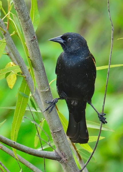 RedWingBlackbird-TroutLakeEustisFL-4-12-17-SJS-002