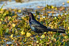 BoatTailedGrackle-EmeraldaMarsh-1-25-20-SJS-001