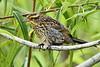 Red-WingedBlackbird(Female)-LAWD-6-1-18-SJS-001