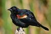 RedWingedBlackbird-LAWD-6-12-20-SJS-04