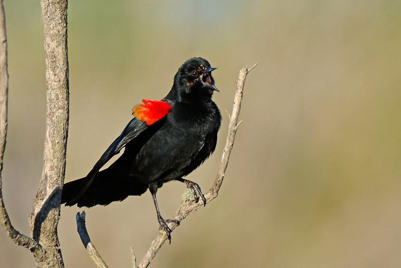 RedWingedBlackbird-LAWD-FL-2-10-17-SJS-14