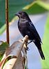 BronzedCowbird-NewtonPark-11-21-19-SJS-002