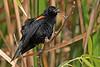 Red-WingedBlackbird-LAWD-7-21-18-SJS-001