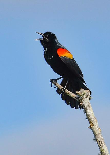 RedWingedBlackbird-EmeraldaMarsh-3-30-20-SJS-002