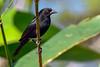 BronzedCowbird-NewtonPark-11-21-19-SJS-007