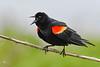 Red-WingedBlackbird-LAWD-4-4-19-SJS-001