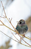 EuropeanStarling-2016-sjs-004