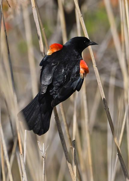 RedWingedBlackbird-MaumeeBaySP-5-8-18-SJS-003