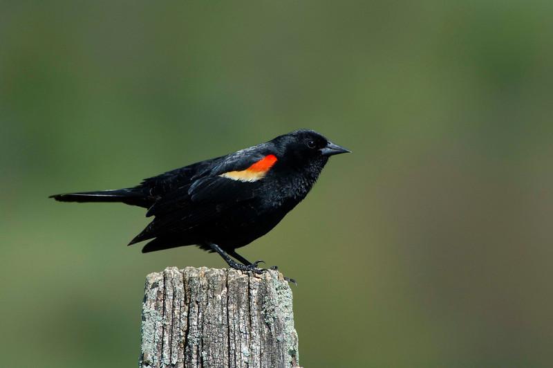 RedWingBlackbird-05-04