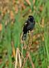 MaleRedWingBlackbird-12-31-16-SJS-001