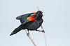 RedWingedBlackbird-LAWD-2-24-17-SJS-003