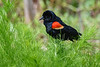 RedWingedBlackbird-MerrittIslandNWR-5-1-19-SJS-002