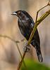 BronzedCowbird-NewtonPark-11-21-19-SJS-014 copy (1)