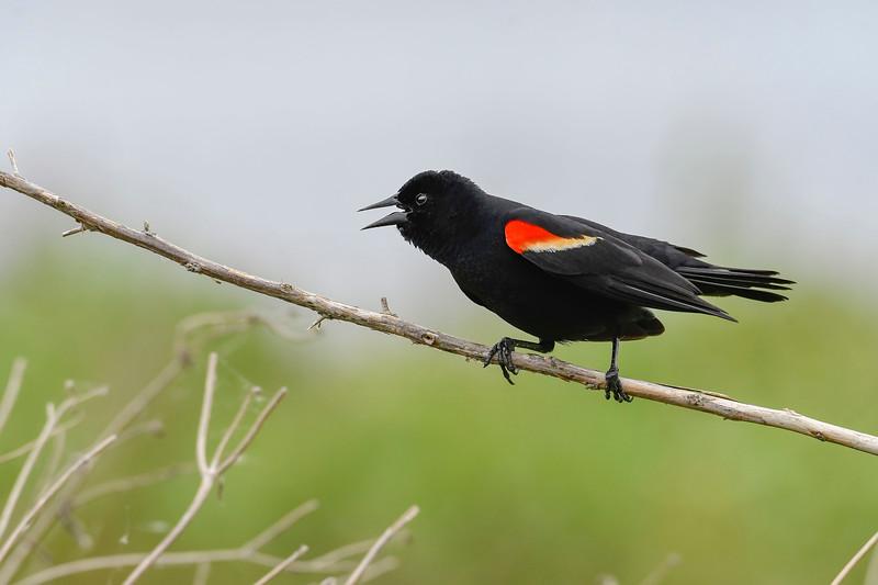 Red-WingedBlackbird-LAWD-4-4-19-SJS-002