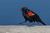 RedWingedBlackbird-LAWD-6-12-20-SJS-01