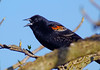 Red-wingedBlackbird(male)-001