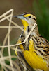 EasternMeadowlark-014