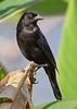 BronzedCowbird-NewtonPark-11-21-19-SJS-005