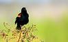 Red-WingBlackbirdApopkaWildlifeDrive-2016-SJS-03
